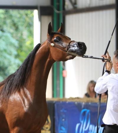 Forlì C International Arabian Horse Show 2018 - September 2018